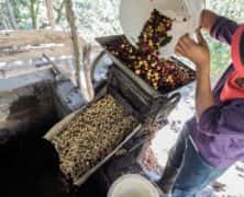 6 in 10 Wild Coffee Species Are Threatened With Extinction, According to Scientists