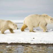 State of Emergency Declared As Dozens of Polar Bears Invade Russian Town